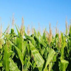 Corn Flakes Gluten Free